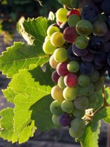 La Rioja Grapes