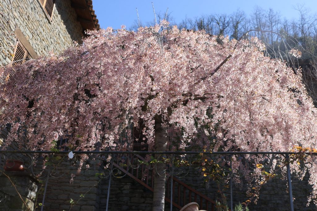 Rupit Blossom