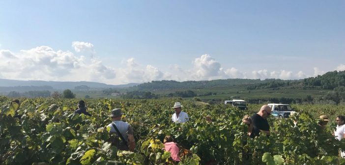 Sumarroca: Harvest the vines, to make great wine!